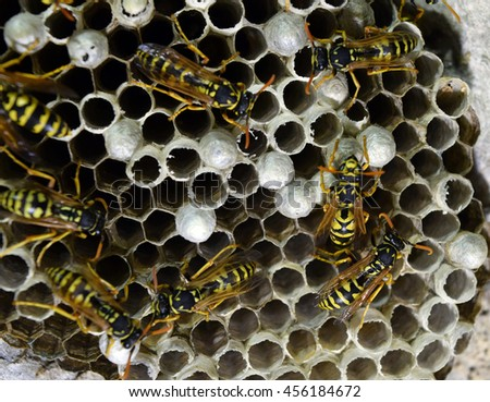 Wasp nest with wasps sitting on it. Wasps polist. The nest of a family of wasps which is taken a close-up. #456184672