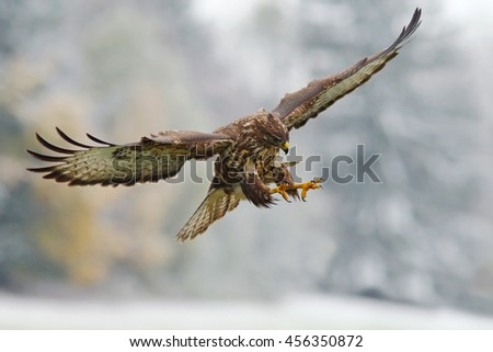 Flying bird of prey in the snowy forest with open wings. Action scene from nature. Common Buzzard, Buteo buteo, in flight with snow. #456350872