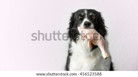 Border Collie with Raw Meat (Chicken Thigh) in Mouth #456523588