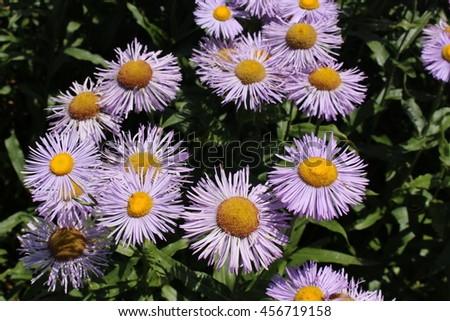 """Blue hybrid """"Fleabane"""" flowers in St. Gallen, Switzerland. Its Latin name is Erigeron Grandiflorum. #456719158"""