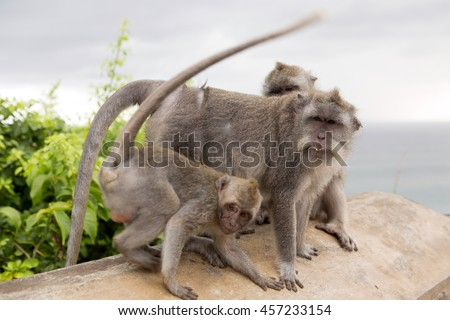group of Long-tailed macaque, the temple of Uluwatu, Bali. Indonesia #457233154