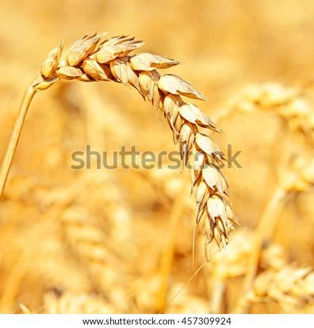 Grain field #457309924
