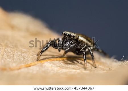 Jumping Spider #457344367