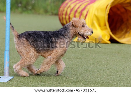 Lakeland Terrier on classes in Dog agility #457831675