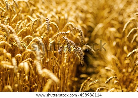 Beautiful nature background of ripening ears of meadow golden wheat field as harvest concept #458986114