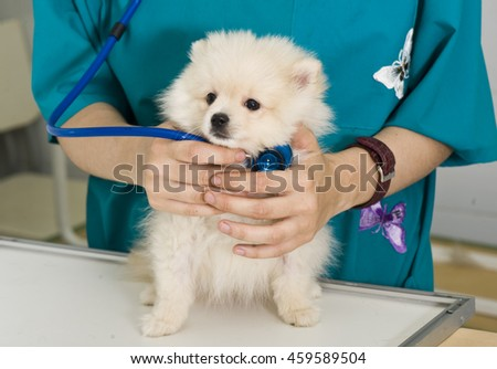 Vet and dog. Veterinary doctor is holding spitz puppy #459589504