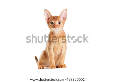 ginger kitten looking Abyssinian breed Royalty-Free Stock Photo #459920002