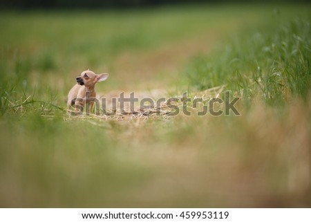 Little puppy with big ears standing on the meadow road in european nature during summer. Blurred green nature background. #459953119