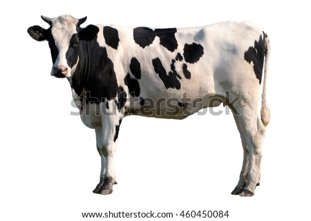 Black and white cow isolated Royalty-Free Stock Photo #460450084