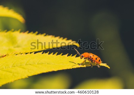 Macro of a Twelve Spotted Asparagus Beetle sitting on a yellow-green leaf. #460610128