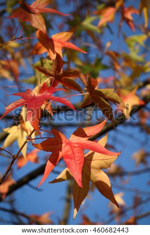Colorful autumn foliage on twig - blue sky in background - sunny bright autumn look-and-feel #460682443