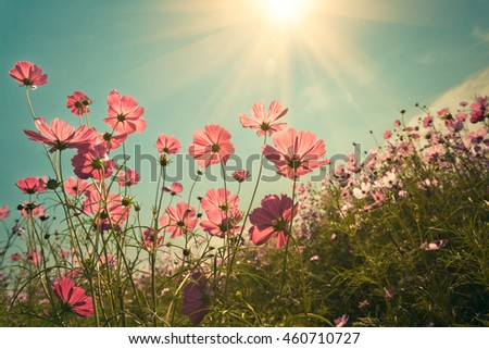 Cosmos flower with sunbeam on vintage-retro style for background