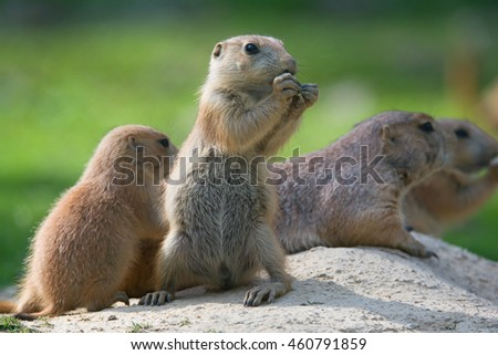 Black-tailed prairie dog (Cynomys ludovicianus) portrait of a cute pet #460791859