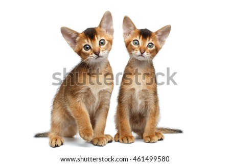 Two Cute Abyssinian Kitten Sitting and Curious Looking in Camera on Isolated White Background, Front view, Baby Animal Royalty-Free Stock Photo #461499580