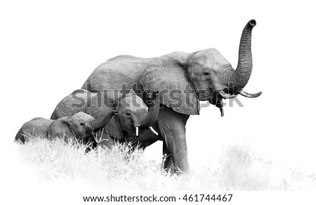 Artistic, black and white photo of three African Bush Elephants, Loxodonta africana, from adults to newborn calf, coming together with trunks raised, isolated on white with a touch of environment.