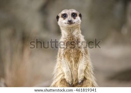 Single Meerkat Sitting