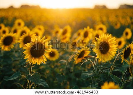 beautiful sunflowers in the sunset #461946433