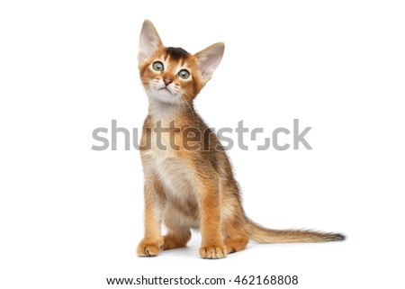 Little Abyssinian Kitty Sitting and Curious Looks up on Isolated White Background, Front view Royalty-Free Stock Photo #462168808
