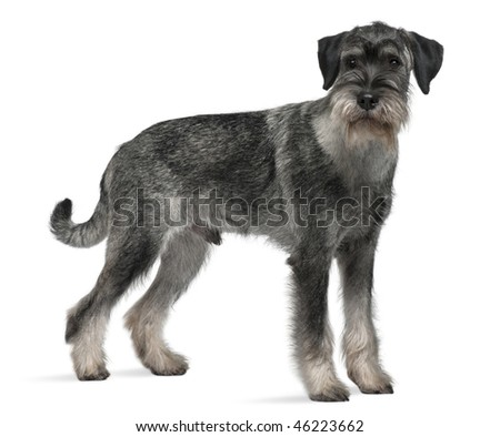 Standard Schnauzer, 9 months old, standing in front of white background #46223662