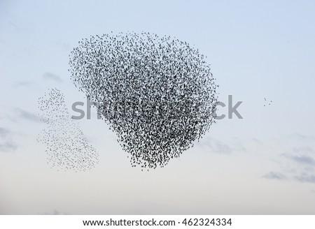 Flock of starlings #462324334