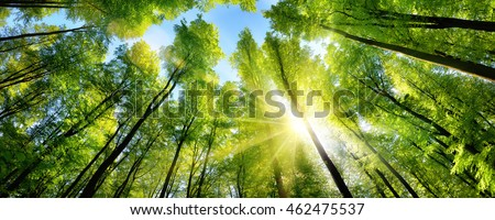 The sun beautifully illuminating the green treetops of tall beech trees in a forest clearing, panorama shot Royalty-Free Stock Photo #462475537