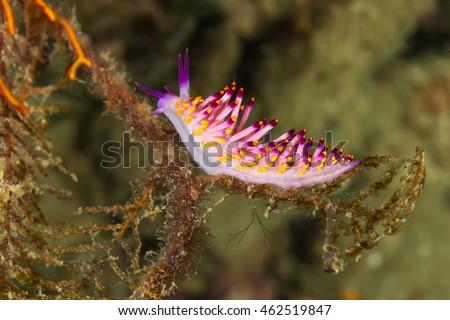 Underwater picture of Cuthona sibogae Nudibranch, Sea Slug