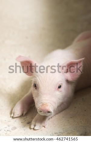Pig at a factory #462741565