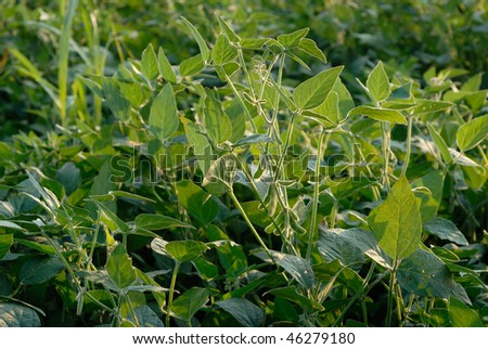 Growth Soybeans #46279180