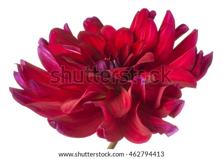 Studio Shot of Burgundy-red Colored Dahlia Flower Isolated on White Background. Large Depth of Field (DOF). Macro. #462794413