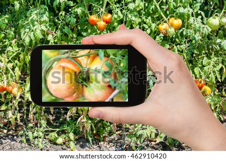 gardening concept - gardener photographs tomato in vegetable garden on smartphone