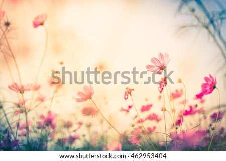 Cosmos flower (Cosmos Bipinnatus) with blurred background #462953404