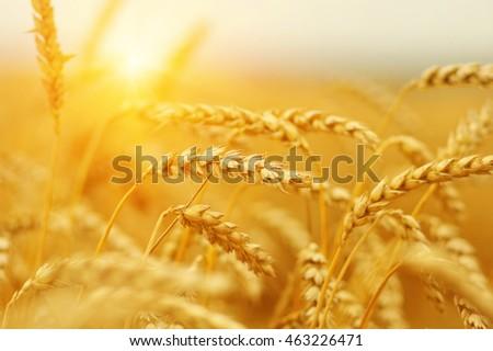 Wheat field on sun.  #463226471