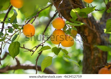 ripe apricots on tree before harvest #463412759