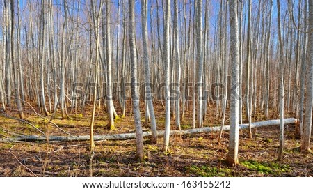Aspen forest in the early spring in Estonia #463455242