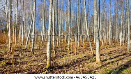 Aspen forest in the early spring in Estonia #463455425