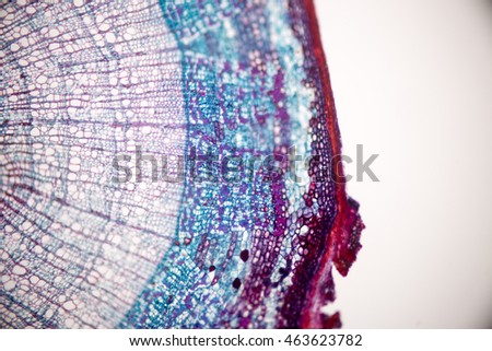 Cross-section Stem to show annual ring under the microscope Royalty-Free Stock Photo #463623782
