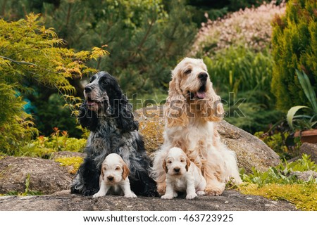English Cocker Spaniel caring female and male mother with two small puppies, 24 days old dogs outdoor on garden rock. Mother love concept. #463723925