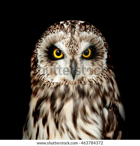 Short-eared Owl portrait on black looking at camera
