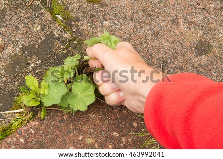 weeds between paving - female hand pulling weeds and self sown seedlings from gaps in patio paving stones from first person perspective #463992041