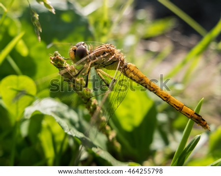 Dragonfly sitting in the grass macro. Dragonfly on a blade of grass in the early morning. Wild insects in nature. #464255798
