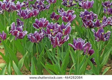 Tulips flowers in the garden #464282084