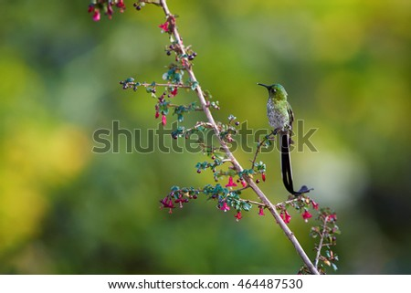 Black-tailed Trainbearer, Lesbia victoriae, long tailed hummingbird feeding on tiny red flowers against blurred green background. North Colombia.