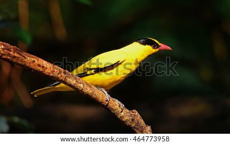 Black-naped Oriole,Yello bird in Thailand and common winter visitor #464773958