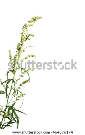 Wormwood plant over white background, close up #464876174