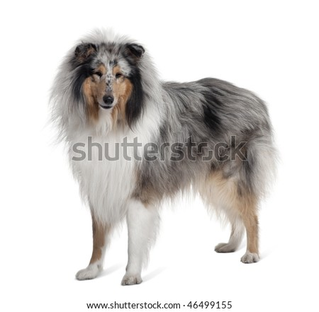 Sheltie dog standing in front of white background, studio shot #46499155