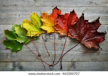 Autumn Maple leaf transition and variation concept for fall and change of season Royalty-Free Stock Photo #465000707