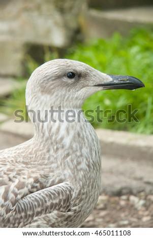 The European herring gull (Larus argentatus) #465011108