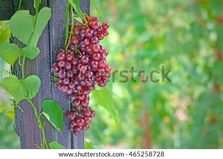 Rural grapes #465258728