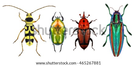 Beetles - Flower longhorn beetle, flower chafer, red palm weevil and jewel beetle (metallic wood-boring beetle) isolated on a white background. Macro Royalty-Free Stock Photo #465267881