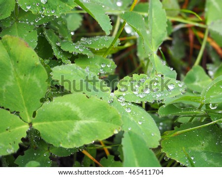 dew drops on clover leaves #465411704